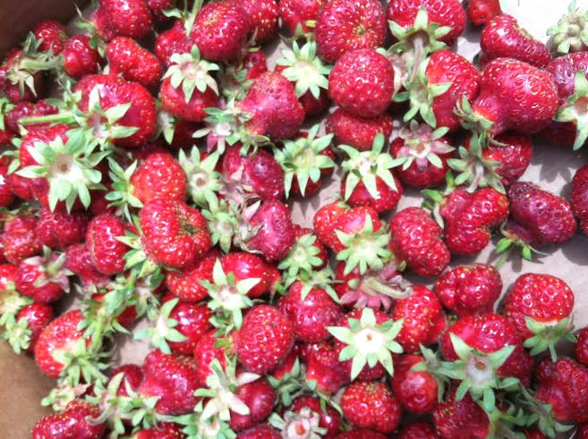 strawberries-from-greenbluff